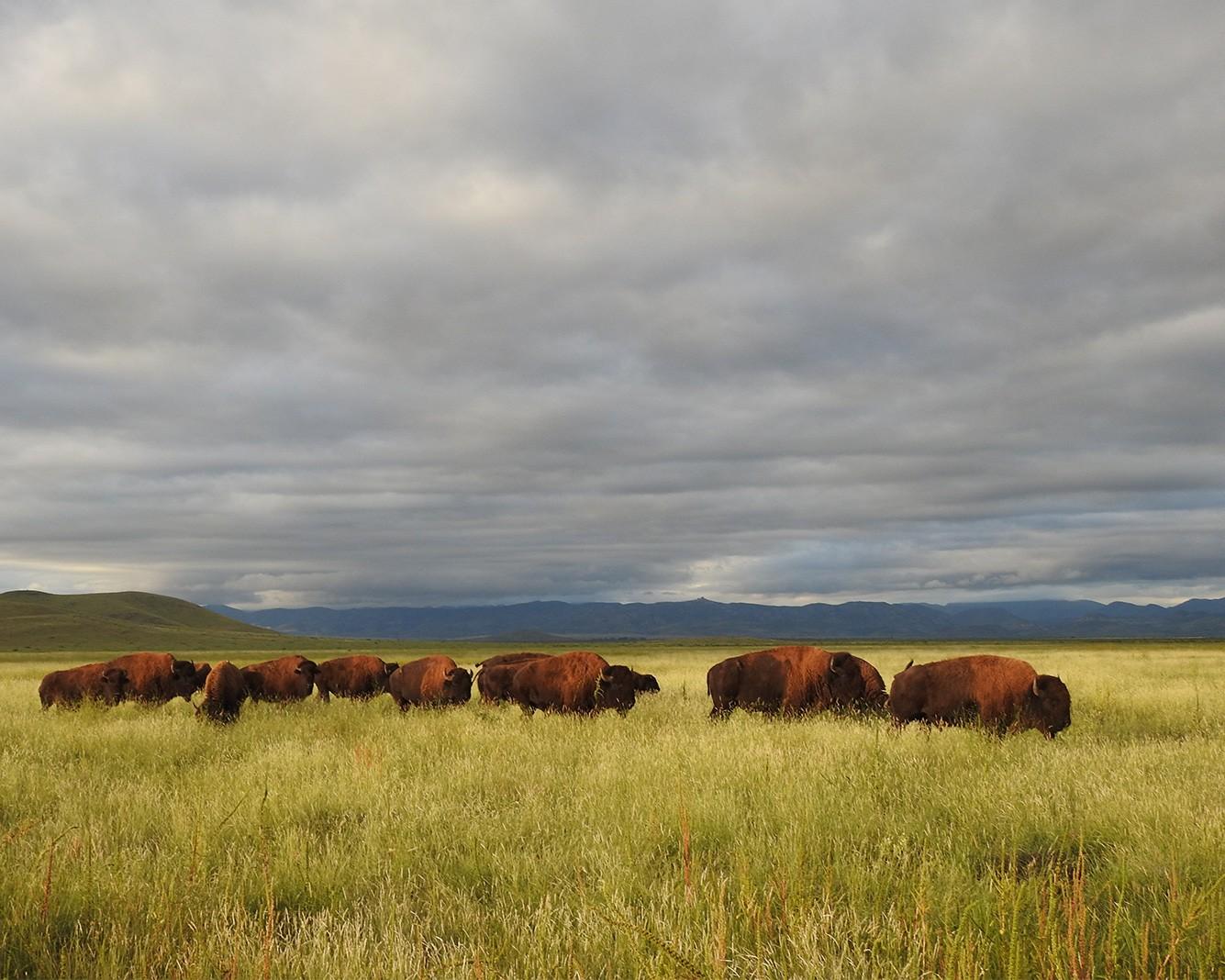 Bisonte en Rancho El Uno, Chihuahua. © Lorenzo J. De Rosenzweig